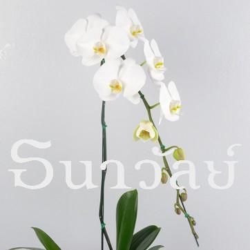 Phalaenopsis WAA