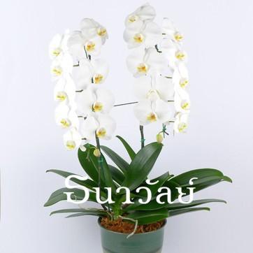 Phalaenopsis WAA 2 Plants