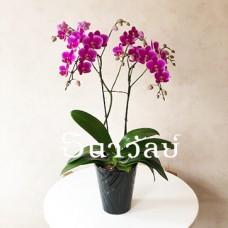 mini phalaenopsis (purple)