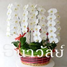Phalaenopsis WAA 4 Plants