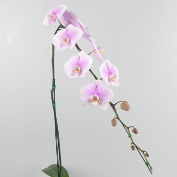 Phalaenopsis NSP1