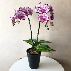 Mini Phalaenopsis (purple striped)